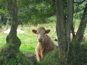 cow-at-fence
